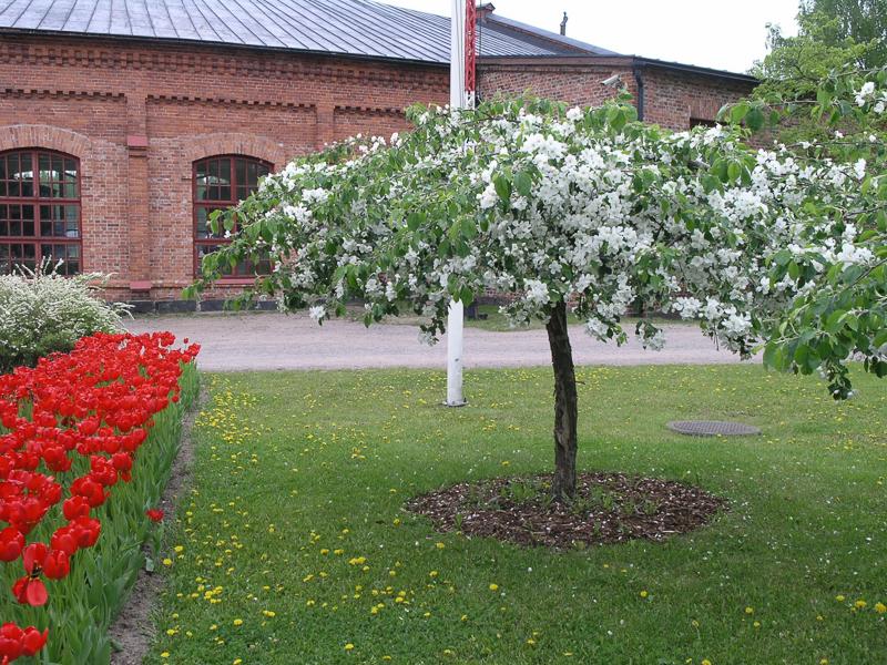 Kukkiva omenapuu nurmikentällä. Vasemmalla rivistö punaisia tulppaaneja ja taustalla Suomen Rautatiemuseon veturitalli.
