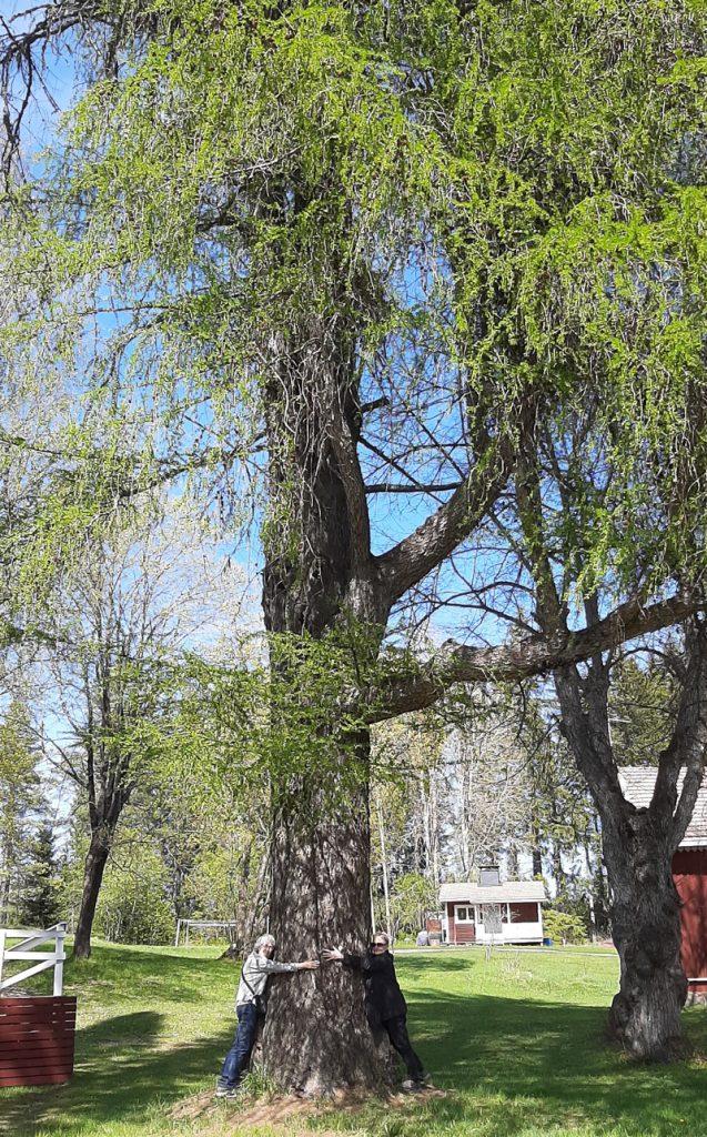 Suuri lehtikuusi, jota kaksi ihmistä halaa. Taustalla on nurmikenttä, jonka reinoilla on rakennuksia. Rakennusten takana on metsää. Suuren lehtikuusen oikealla puolella on toinen puu.