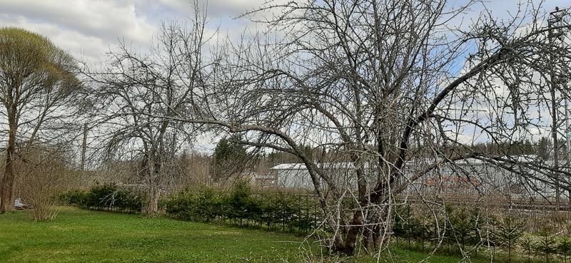 Lehdettömiä omenapuita kuusiaidan edessä. Vasemmalla on salava. Kuvan edustalla vihreää nurmikkoa ja taustalla puiden takana on raiteita ja pitkä harmaa rakennus.